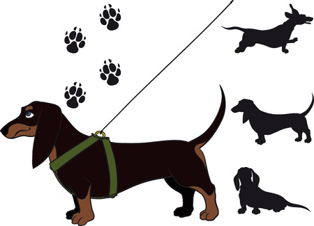 funny dachshund Shorthair standing in breast band and leash Vector