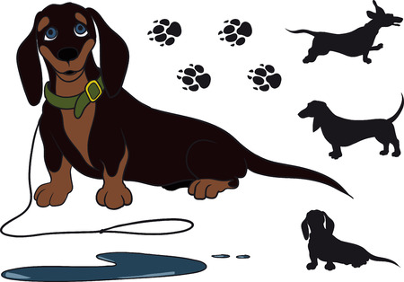 funny dachshund sitting shorthair. She just pee