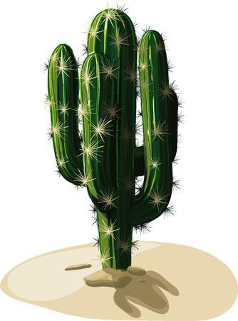 suelo arenoso: M�xico Cactus candelabro crece en suelos arenosos en el calor