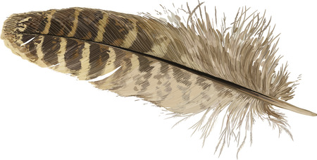 smooth background: Pheasant feather