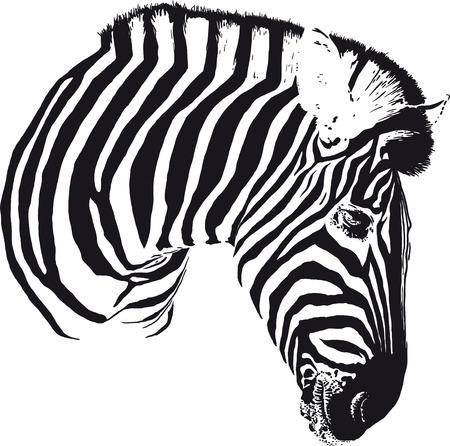 gazing: Zebra Head Illustration