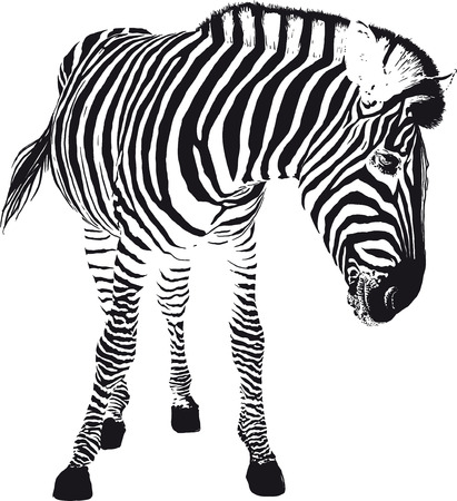 The black zebra stripes turned playfully in the profile
