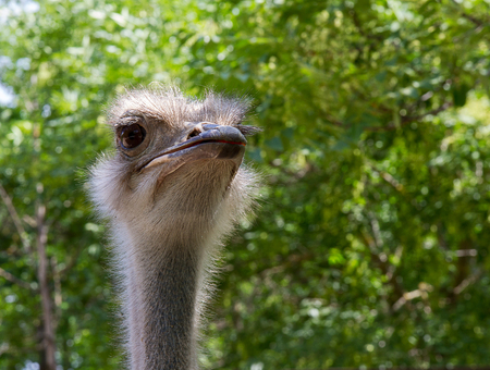 close-up adult ostrich closely observes the situation against the background of trees