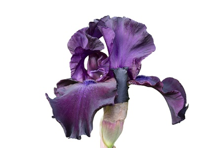Iris, Iris germanica exempted white background Stock Photo