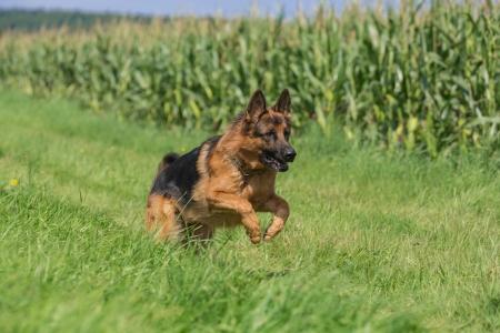 sheppard: German sheppard portrait on meadow Stock Photo