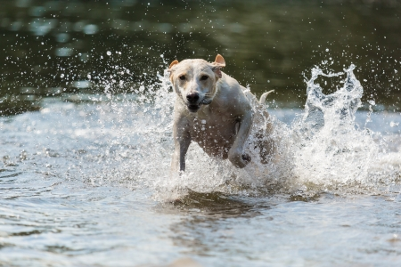 spanish greyhound runs through water photo