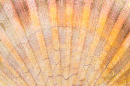 isoliert: Schale einer Jakobsmuschel, Nahaufnahme