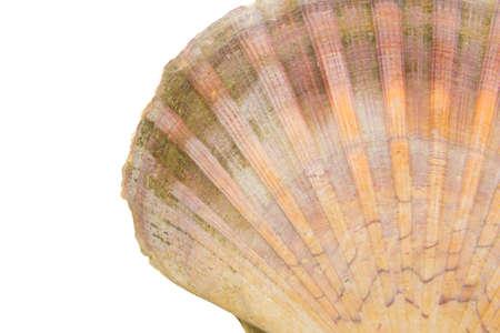 isoliert: Schale einer Jakobsmuschel, Nahaufnahme angeschnitten Stock Photo