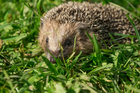 A hedgehog runs by a meadow photo