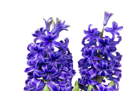 hyacinths: Blossoms of blue hyacinths in spring