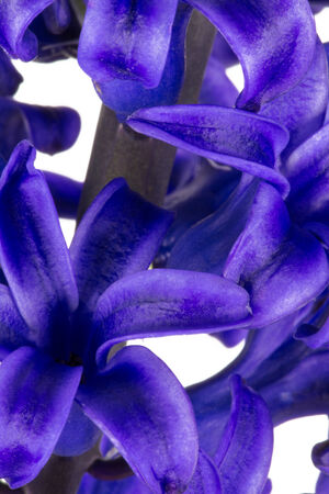 macroshot: Macroshot of a blue hyacinth blossom