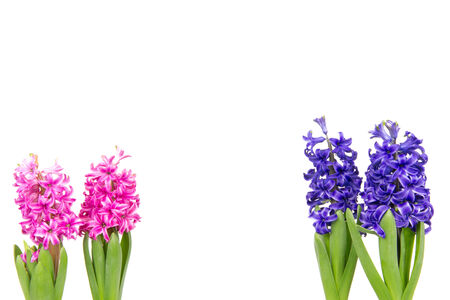 hyacinths: Pink and blue hyacinths in spring Stock Photo