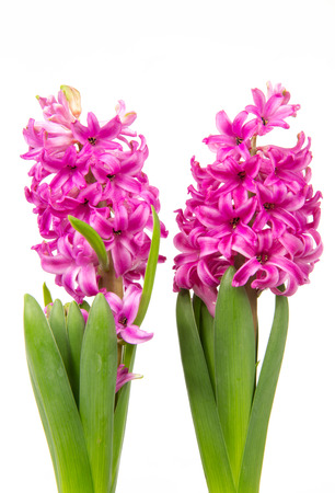 hyacinths: Blossoms of pink hyacinths in spring