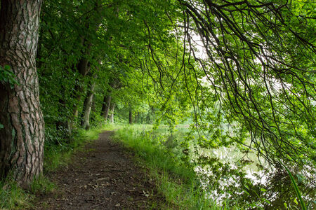 clearing the path: Bank way under old pines and beeches