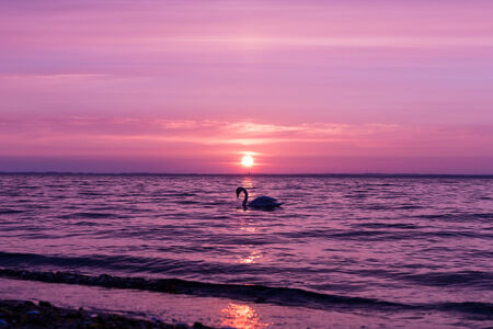 Sundown at the baltic with swans, coloured in radiant orchid