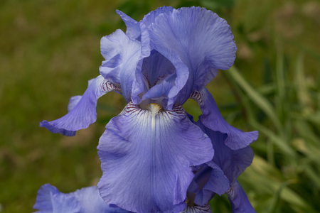 close-up of a iris blossom, blurred  photo