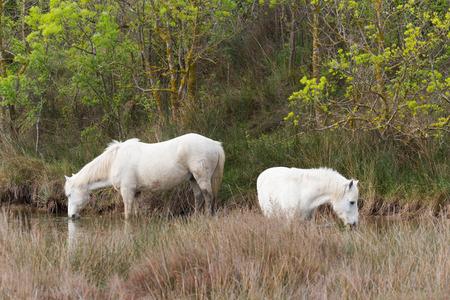 caballo bebe: Dos moldes corrientes libres en la Camarga pusieron a pastar Foto de archivo