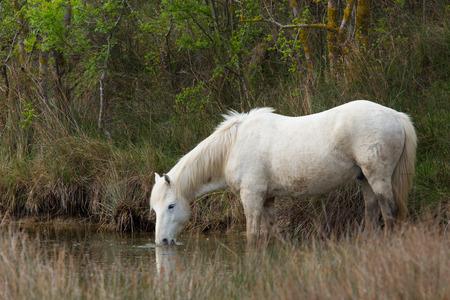 caballo bebe: un molde de funcionamiento libre en la Camarga puso a pastar Foto de archivo
