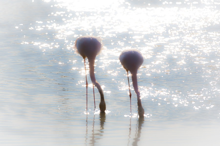 back light: two flamingos photographed in the water with back light Stock Photo