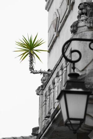 horizontally: A green yucca palm grows horizontally from a grey facade