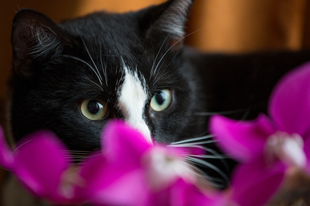 noir et blanc: Un chat blanc noir derri�re fleurs color�es Banque d'images