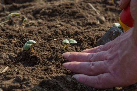 seed bed: Small seedlings are planted in a bed