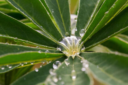 reflektion: Several drops of water in a lupin leave, macroadmission Stock Photo