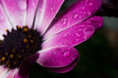 reflektion: Several drops of water in a cape rain daisy blossom, macroadmission