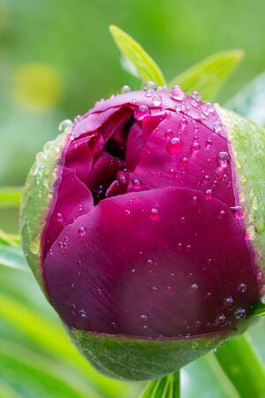 reflektion: The bud of a peony with drop of water
