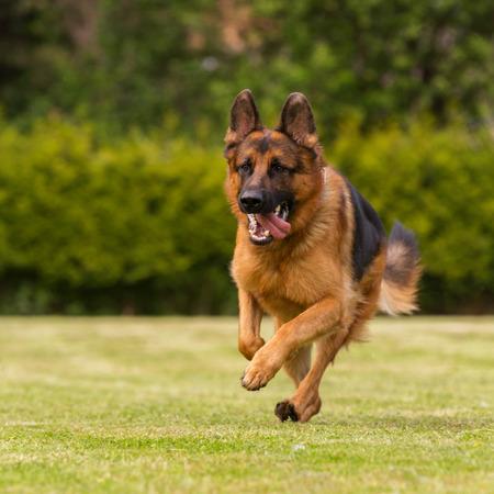 sheepdogs: A German sheepherd runs through a meadow