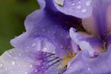 reflektion: Several drops of water in a lily blossom, macroadmission