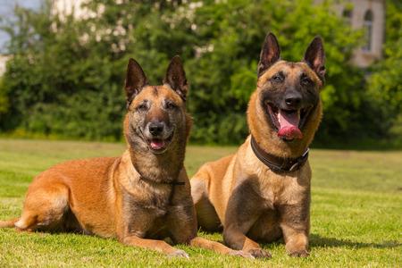 sheepdogs: Two Belgian sheepdogs lie on a meadow in the sun