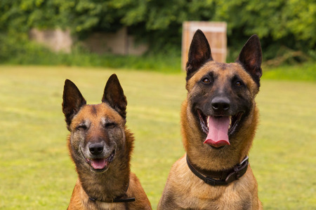 sheepdogs: Two Belgian sheepdogs sit side by side
