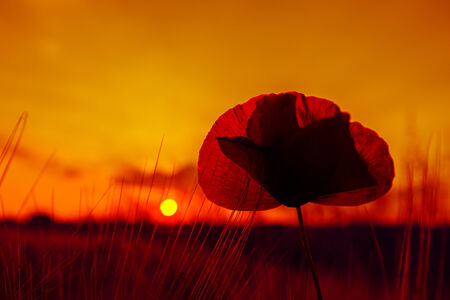 back light: A grain field with poppies in the back light
