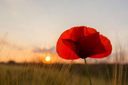 back light: A grain field with a poppy in the back light