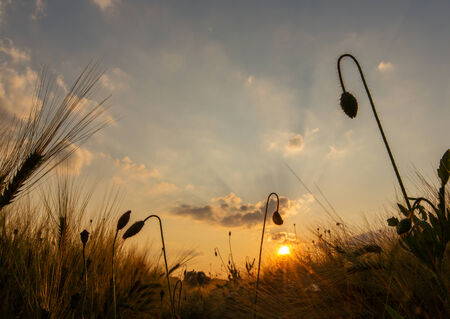 back light: A grain field with poppy buds in the back light Stock Photo