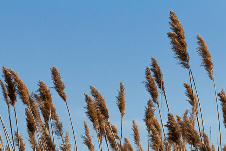 reed: Reed grass in wind