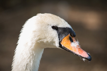 beak: Close-up of a swan head with feathers in the beak