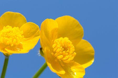 buttercup: macro of a buttercup