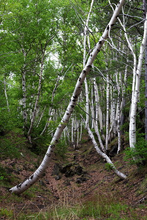 barque: Young birches in a forest