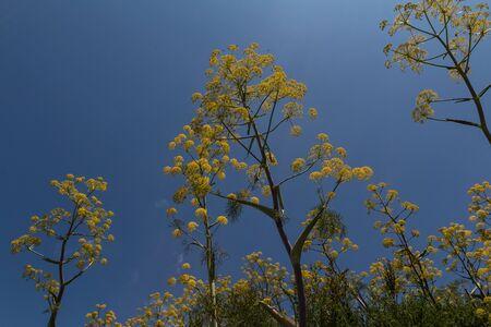 finocchio: fiori di finocchio selvatico