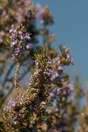 remedial: blossoms of a rosemary in summer