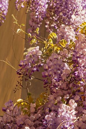 faboideae: wisteria at a wall in sunshine
