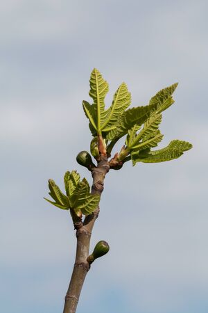 fig tree: the top of a fig tree