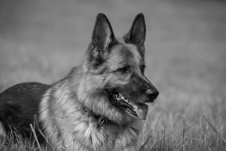 familiaris: A purebred German Shepherd lying in a meadow Stock Photo