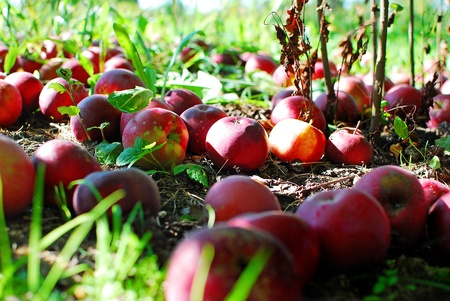 fallen fruit: Image of several fallen apples in an orchard