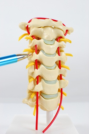 Image of human spinal model with section being pointed out
