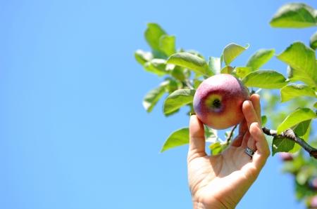 Apple-Picking Standard-Bild - 15097153