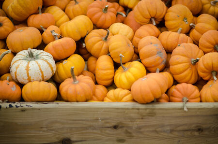 Many Small Pumpkins photo