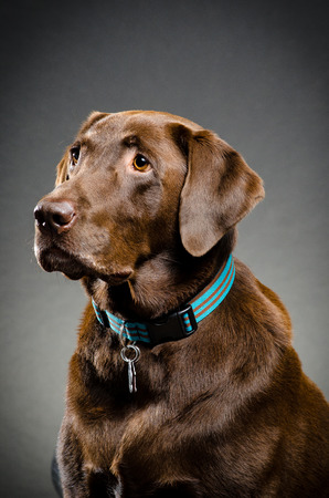 catchlight: Pet chocolate lab Stock Photo